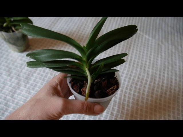 Орхидея красотки от Швертера