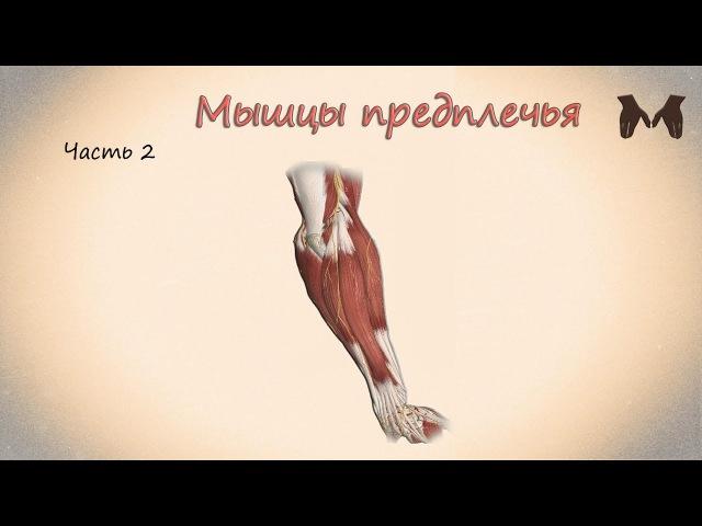 Мышцы предплечья (часть 2) - детальный обзор 3д