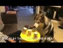 Аляскинский баламут — очень умный пёс!