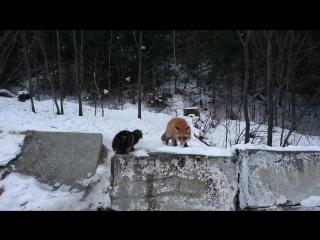 Наглая лисица и офигевший кот