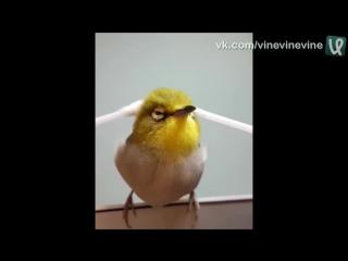 Японскую птичку массажируют ватными палочками