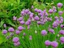 Лук Шнитт лук удивительное витаминное растение из семейства луковых