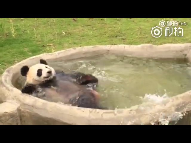 The craziest Panda bath of all time