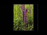 Магические свойства растений Шалфей
