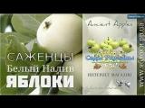 Саженцы яблоко Белый Налив, 0957351986, 0985674877, купить Украина Ancient Apples