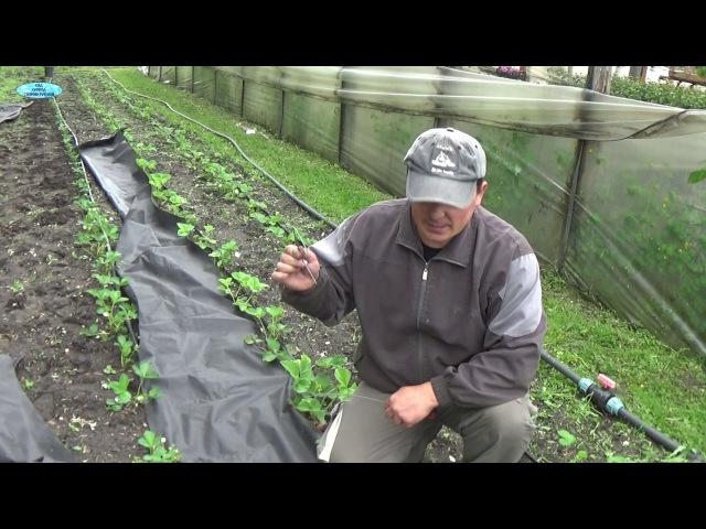 Выращиваете клубнику Сделайте с ней ТАК () и забудьте про прополки