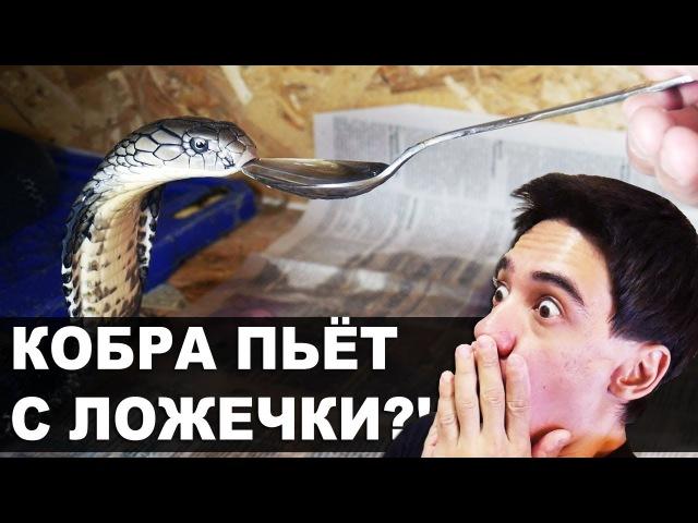 КОРОЛЕВСКАЯ КОБРА ПЬЁТ С ЛОЖЕЧКИ в террариуме! / King cobra drinks water