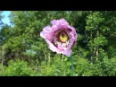 Пчелы тоже любят мак. Без слов.