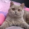 "Британские котята в Спб. Питомник ""OLLINN-CATS"""