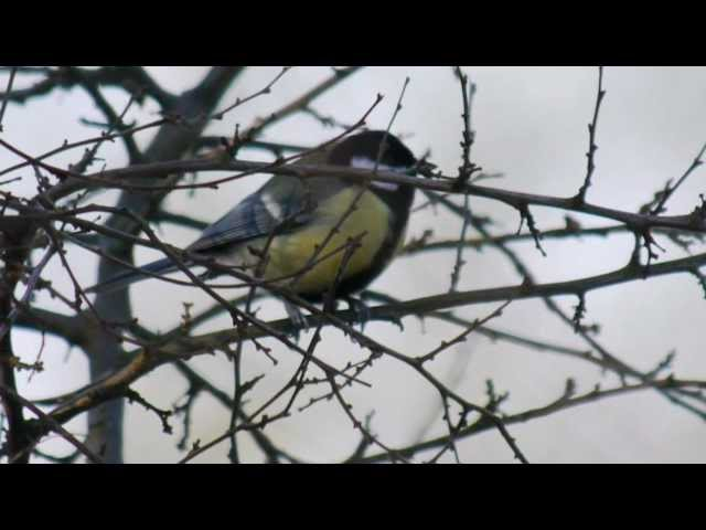 Great Tit (Parus major) singing / Kohlmeise beim Lockruf