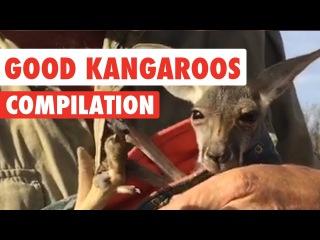 Good Kangaroos Video Compilation 2017