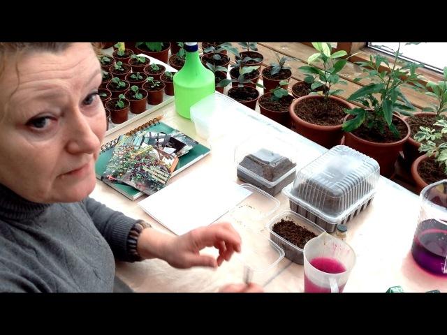 Выращивание Виолы, торфяные таблетки БиТи и новый сорт ампельной петунии Тайф ...
