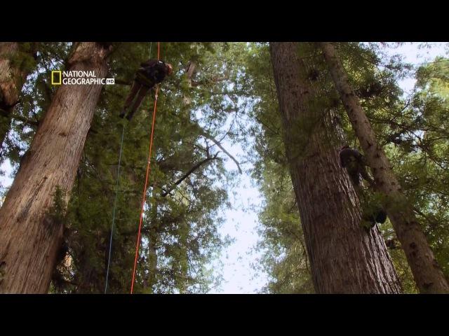 Самые удивительные фотографии National Geographic: Калифорнийская секвойя HD 1080
