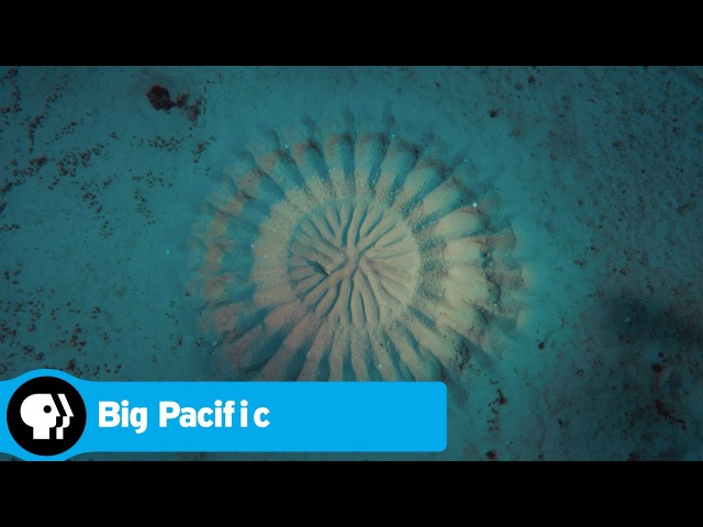 BIG PACIFIC Pufferfish PBS