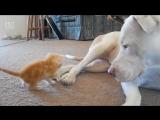 Первое знакомство котенка с собакой