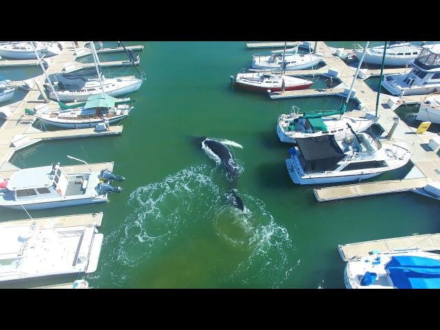 AERIALS Large HUMPBACK WHALE Confused or Lost In Ventura Marina 4K