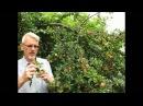 Как размножать плодовые деревья.