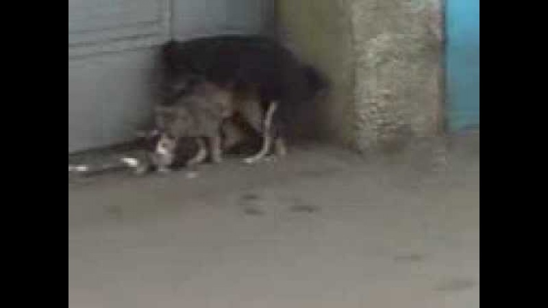 Собака которая трахает кота который трахает кошку