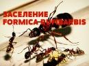 Муравьиная ферма Формикарий заселение formica rufibarbis часть 4 ANT FARM