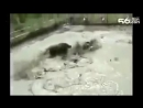 Бой дикого кабана и бойцовских собак!