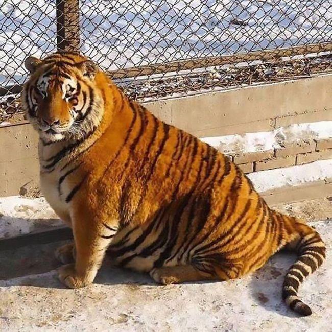 Амурские тигры в Харбине гибнут от ожирения (фото)