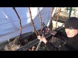 Обрезка винограда первая часть