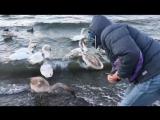 Море лебеди и ЛАВАШ