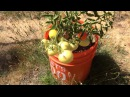 Результат выращивания томатов в ведрах. Как завязались томаты. Немного о сортах ...