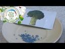Посев брокколи на рассаду. Выращивание брокколи.
