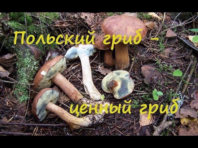 Польский гриб - лучший среди моховиков.