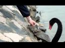 Baby Black Swan/Ребенок Черный Лебедь