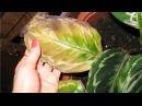 НЕОБЫЧНОЕ СРЕДСТВО для комнатных растений/КАК РЕАНИМИРОВАТЬ комнатные цветы.