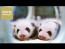 В Чэнду детенышей-близнецов большой панды впервые показали посетителям