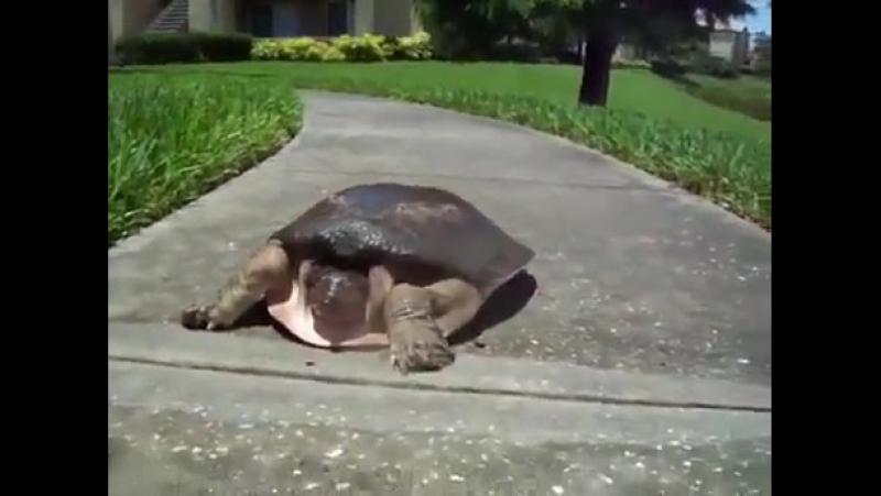 хто сказав що черепаха повільна