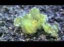 Melibe Nudibranch eating a shrimp Lembeh strait HD