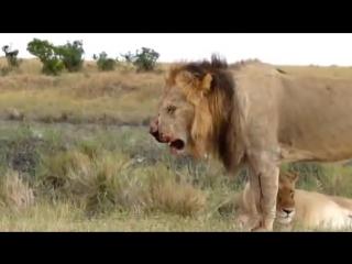 реальная Африка. Лев после боя со львом