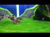 Коридорасы на ковре из водорослей