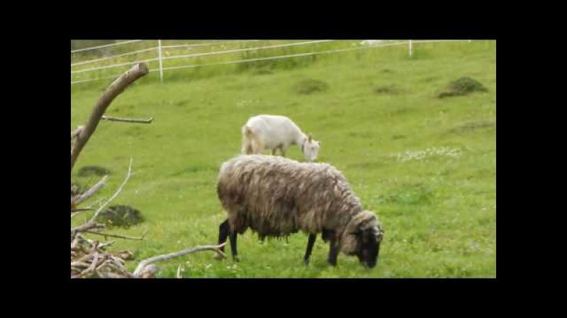 Урок 3 Электропастух для коз дешевле