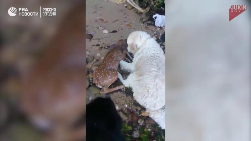 Ретривер по кличке Шторм спас тонущего олененка:-)