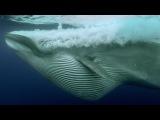 Sardine Feeding Frenzy: Whale, Shark, Dolphin and Sea Lions - The Hunt - BBC Earth