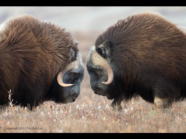 Animal Fights | fighting bears and musk oxen - animal attacks