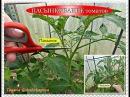 Огородничество. Выпуск 24 - ПАСЫНКОВАНИЕ томатов. Формирование Помидор в 1, 2, и 3 стебля.