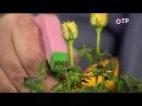Пересадка и адаптация комнатных роз