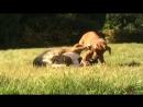 охота на льва как быстро и не привлекая внимания других хищников прикончить добычу