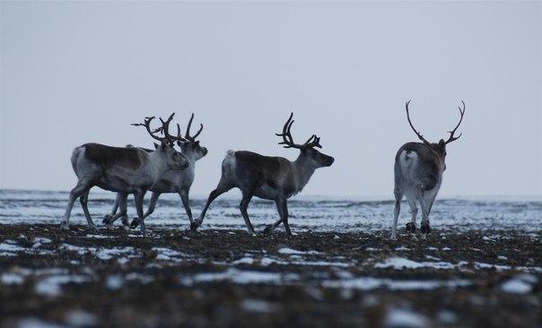 600 тысяч рублей выплатит браконьер из Мирного, убивший 15 диких оленей