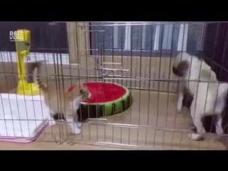 Страшнее кошки зверя нет