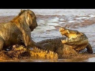 Лев Царь Зверей! Против крокодила! Lion The King Of Beasts! Against crocodile!