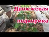 Дрожжевая подкормка огурцов в открытом грунте Подкормка перцев, баклажанов и бахчевых