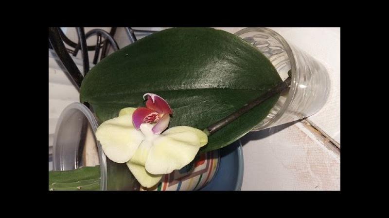 Укоренение цветоноса Орхидеи.часть первая.