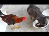 Петух отбирает еду у кота
